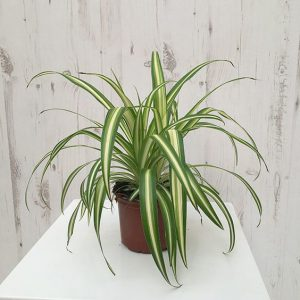 Spider Plant Indoor Plants